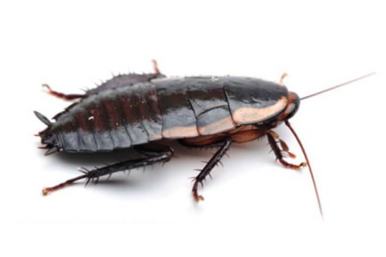 Gisborne & Native Cockroaches